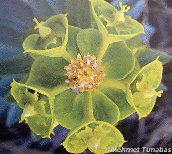 Mevlana çiçeği