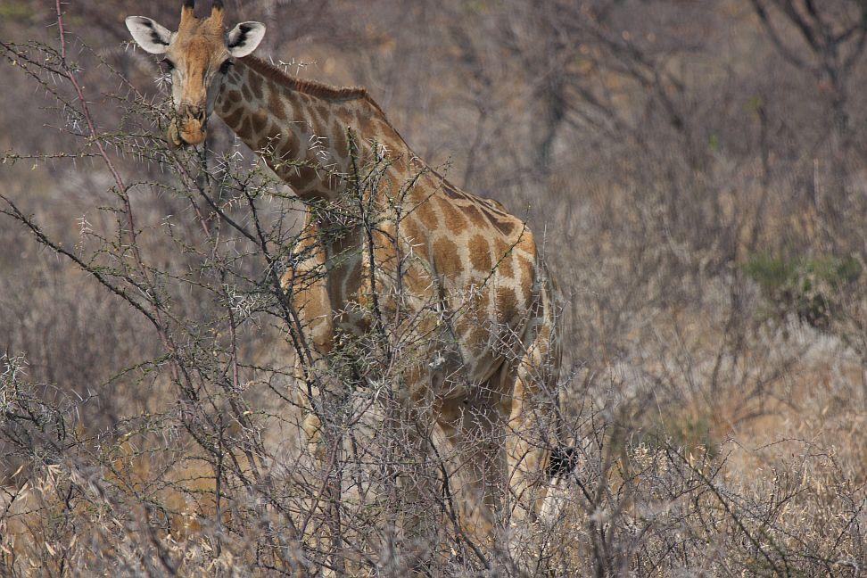 etosha-zürafa