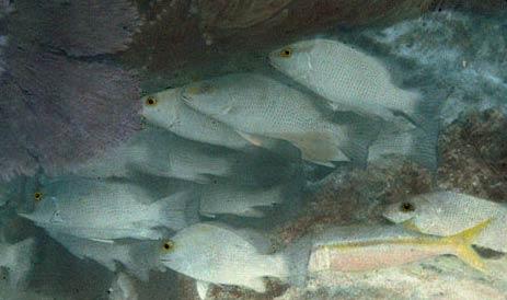İlk renkli su altı fotoğrafı. William Longley ve Charles Martin Florida